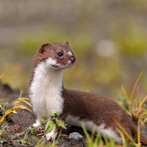 afbeelding hermelijn
